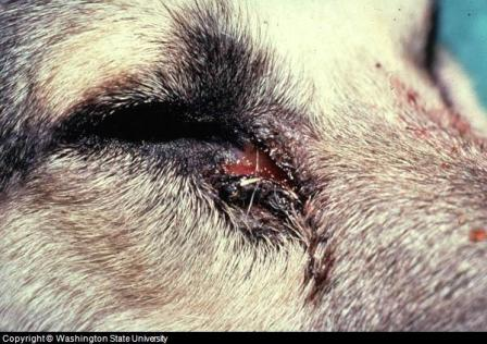 Tear duct infection in dogs