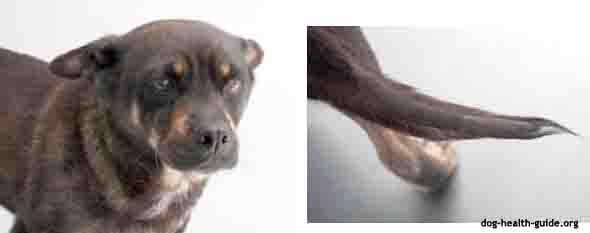 Hypothyroidism Canine