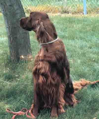 Irish Setter, Large Breed Dog