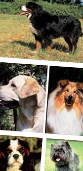 Overweight Dogs - Breeds at Higher Risk