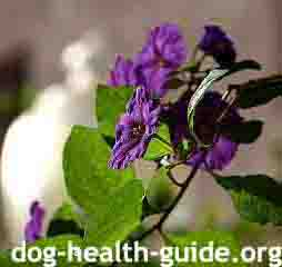 The Berries and Leaves of Nightshade are Toxic For Dogs